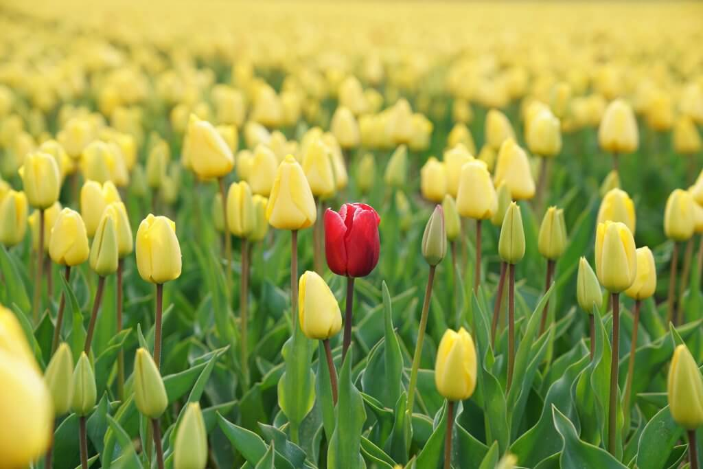 One red tulip standing out in a field of yellow